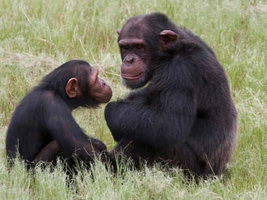 Captive chimps proposed for endangered status