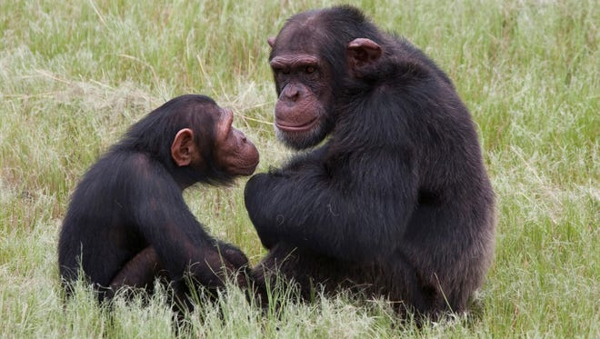 Chimpanzees sit in an enclosure at the Chimp Eden rehabilitation center near Nelspruit, South Africa.
