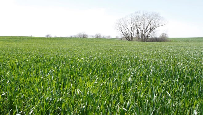 In this April 25, 2013, photo is a wheat field in Sedgwick County, Kan.