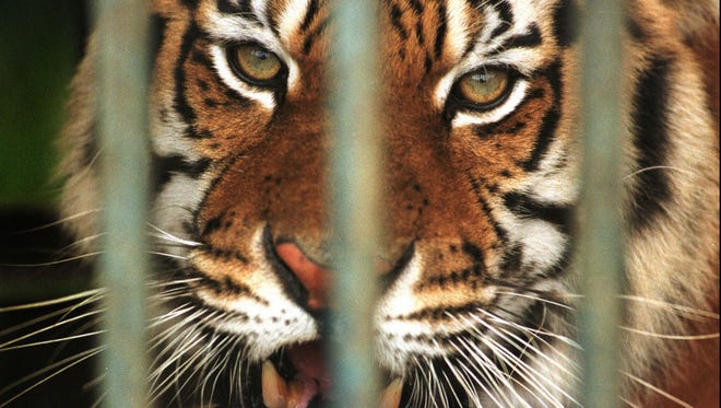 A woman was mauled by a tiger at Exotic Feline Rescue Center near Center Point, Ind., Friday. In this 1997 file photo, bars block the view of a former circus tiger held at the rescue center near Center Point.
