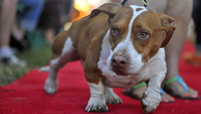 Tammie Barbee walks her dog Walle, a Beagle-Bassett, down the red carpet at the start of this year's World's Ugliest Dog competition in Petaluma, Calif.