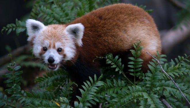 This undated handout photo provided by the National Zoo shows Rusty, a red panda that has gone missing from its enclosure at the zoo in Washington.
