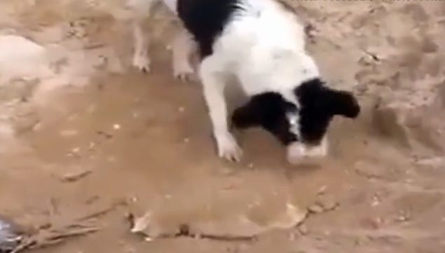 A dog is captured on video burying a puppy in Iraq.