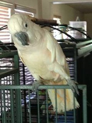 Rusty, a 19-year-old cockatoo, was locked in a hot car and lying face down when he was rescued Friday, June 21, 2013, by fire crews in Surprise, Ariz.