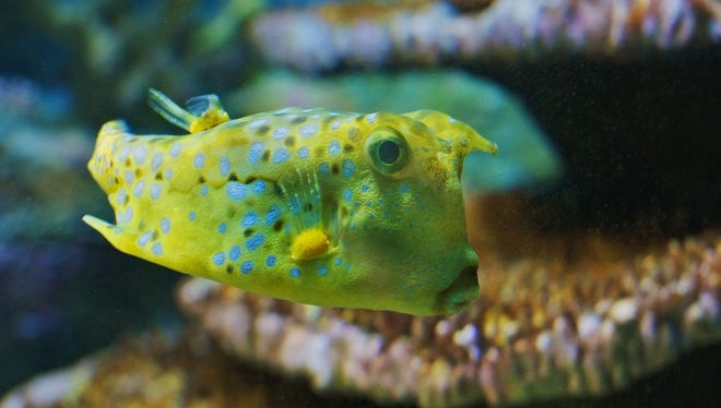 The longhorn cowfish gets its name from the horn-like appendages protruding from its head. When they get hungry, they blow into the sand on the bottom of the ocean to uncover small prey. The longhorn cowfish on display at the National Aquarium in Baltimore is said to be quite photogenic.
