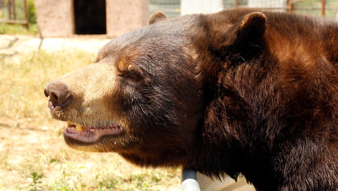 One of 11 bears that had been housed at Chief Saunooke Bear Park in Cherokee, N.C., explores its new surroundings July 8, 2013, at the International Exotic Animal Sanctuary in Boyd, Texas. The USDA had shut down the bear's previous home.