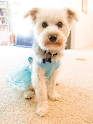 Peyton, 2-year-old Yorkiepoo belonging to Lindsay Belk of Carmel, Ind., has a closet full of clothes to wear when the two go out or are just playing around the house. Peyton posed for her photos  July 8, 2013.