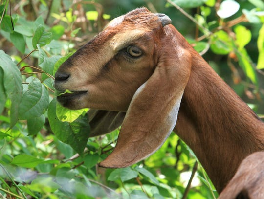 Goats poison ivy