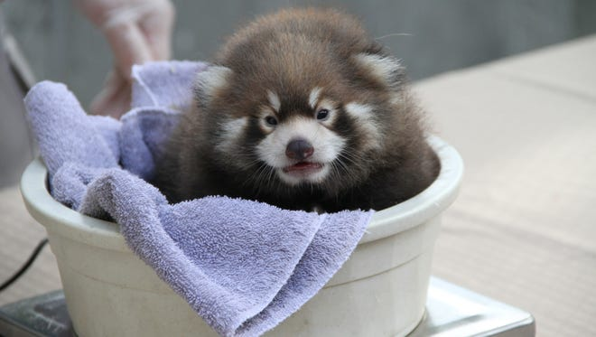 Zhin-Li, a red panda born at Binghamton Zoo in New York, is now 5 weeks old and weighs more than 2 pounds.