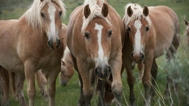 A court hearing Friday in New Mexico may lift an injunction on horse slaughter in the United States.
