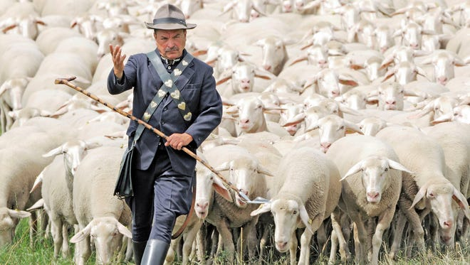Shepherd Bernd Angelroth leads a herd of sheep during the regional Shepherds Championships of Thuringia in Hohenfelden, central Germany. Regional shepherds lead a herd of 300 sheep together with two sheepdogs during the competition. Winner will be the shepherd who leads the herd in the best formation.