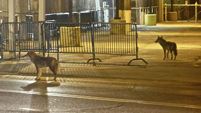 A pair of wild coyotes stand near Wrigley Field on Chicago's North Side on Saturday.