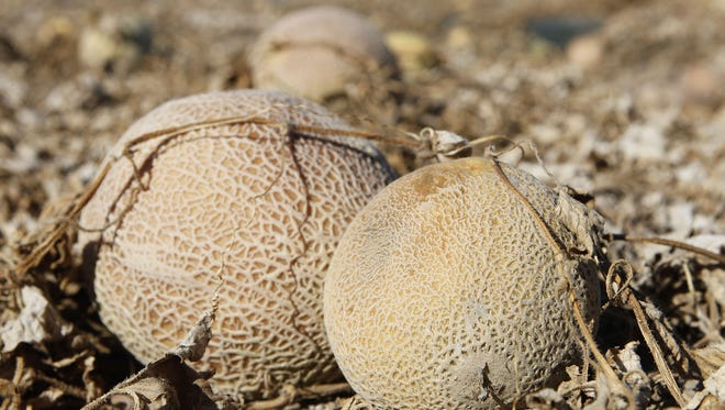 Cantaloupes rotting in a field on the Jensen Farms near Holly, Colo.