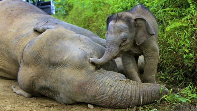 In this Wednesday, Jan. 23, 2013 photo released by Sabah Wildlife Department, a 3-month-old elephant calf tries to awake its dead mother at the Gunung Rara Forest Reserve in Sabah, Malaysia.