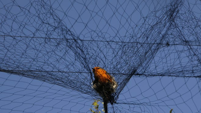 A bird is entangled in a net used by poachers to trap migrating songbirds in the early morning in the Larnaca district of Cyprus.