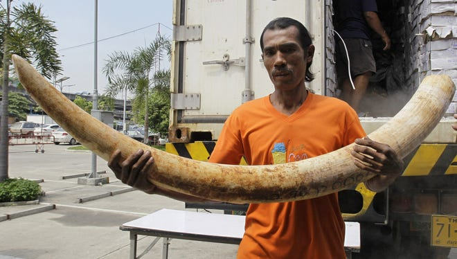 In this April 1, 2011 photo, a Thai worker carries seized elephant tusks smuggled into Thailand from Kenya before a press conference at the customs headquarters in Bangkok, Thailand.
