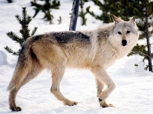 Environmentalists Band Together To Defend Gray Wolves