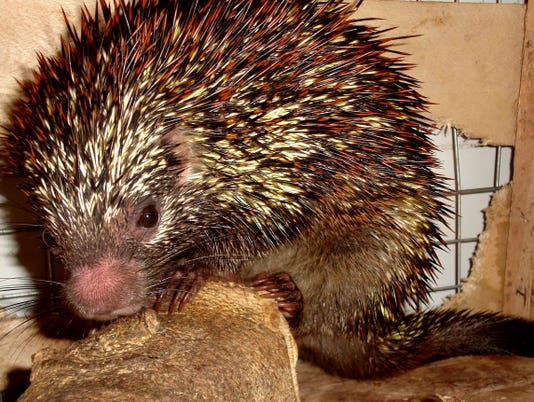 brazil porcupine