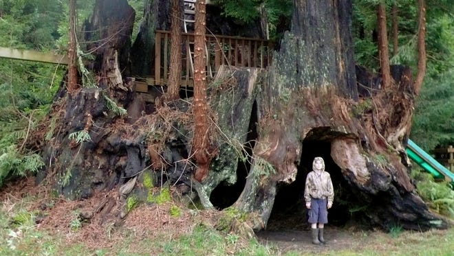 This October 2011 photo provided by Archangel Ancient Tree Archive shows an unidentified person standing beside a coastal redwood tree near Crescent City, Calif., which is among dozens the group has cloned.