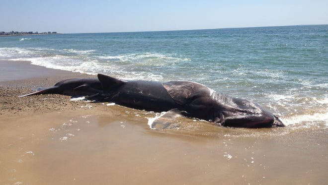 A 28-foot-long dead basking shark was found washed ashore on a Rhode Island beach on Sunday.