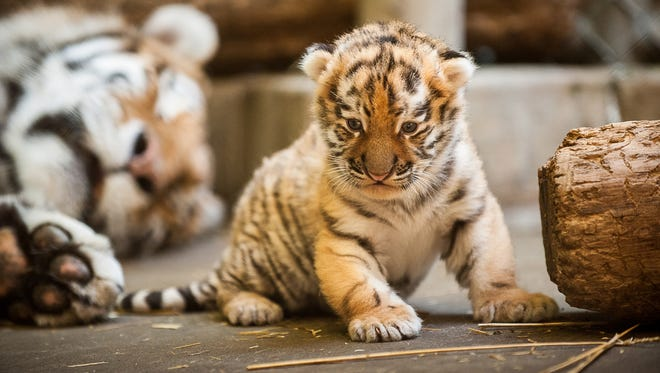This undated photo provided by the Pittsburgh Zoo and PPG Aquarium shows the new Amur tiger cub in a restricted area at the zoo.