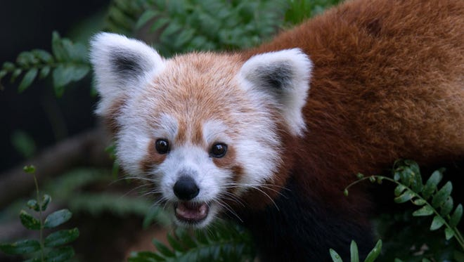 This undated handout photo provided by the National Zoo shows a red panda that had gone missing from its enclosure at the zoo in Washington.