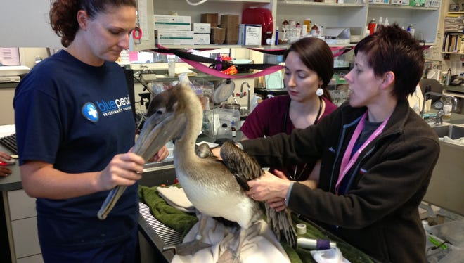 Stowaway pelican rescued by cruise ship: Royal Caribbean's Jewel of the Seas served as an avian ambulance last week when it brought an injured pelican to a Tampa emergency animal hospital, a spokesman for the veterinary service said.