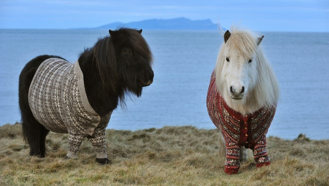 Visit Scotland's newest tourism ambassadors: sweater-wearing Shetlands named Fivla and Vitamin
