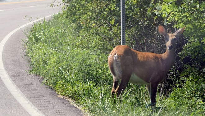 A doe stands along US 27, Fort Thomas., Ky.