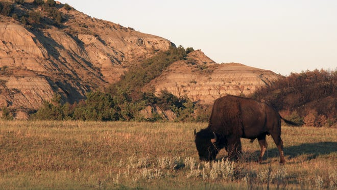 A buffalo forages in Theodore Roosevelt National Park.