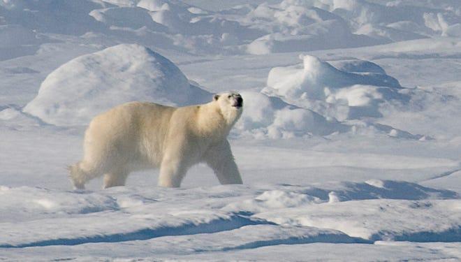 A polar bear walks along the ice flow in Baffin Bay above the Arctic circle.