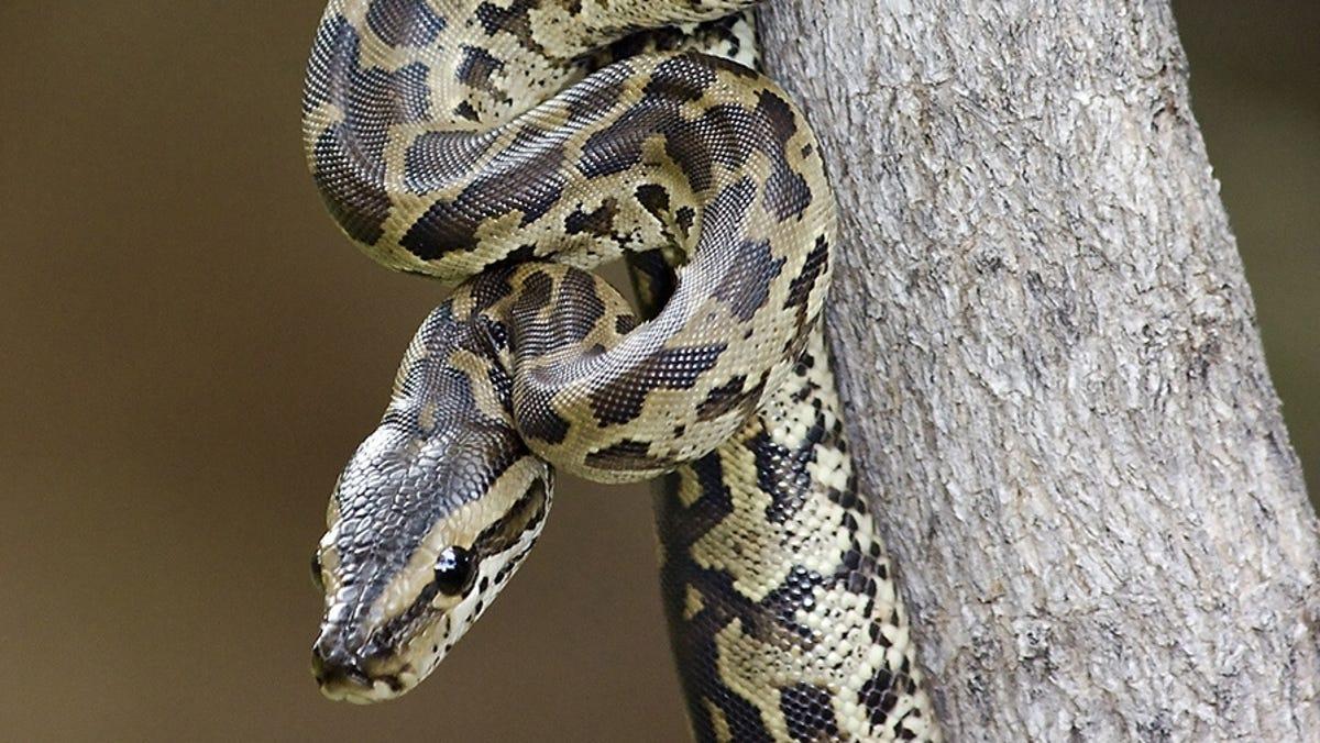 Escaped Python Kills 2 Young Boys In Canada