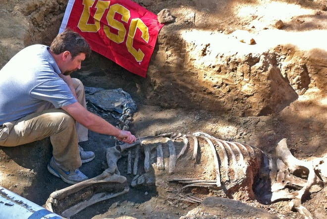In this March 9, 2014 photo provided by USC Archaeology, Prof. Tom Garrison excavates the bones of legendary racehorse Native Diver from its grave at the former Hollywood Park race track in Inglewood, Calif. The remains will be moved to a new resting place in Southern California. Richard Shapiro, the grandson of Native Diver's owner and breeder, said that he couldn't bear the thought of the thoroughbred's remains staying where they were as Hollywood Park is torn down and replaced by a residential and retail complex. Shapiro enlisted the help of University of Southern California archaeologists who are used to excavating ancient sites in Egypt and Turkey. Native Diver's remains will be taken to Del Mar racetrack and stored there until a new burial site is prepared. (AP Photo/USC Archaeology, Lynn Dodd)