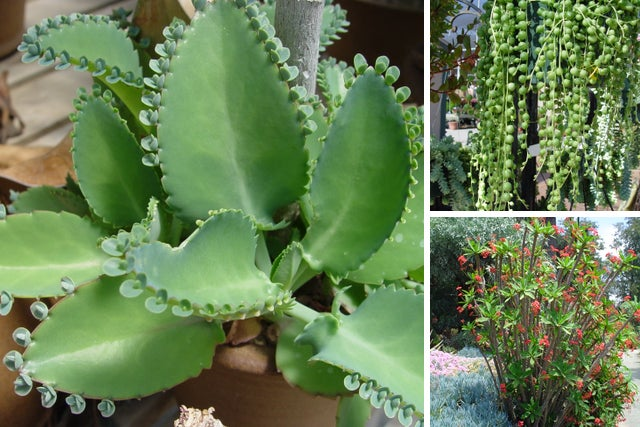 These Common Household Succulents Can Be Toxic To Your Pets