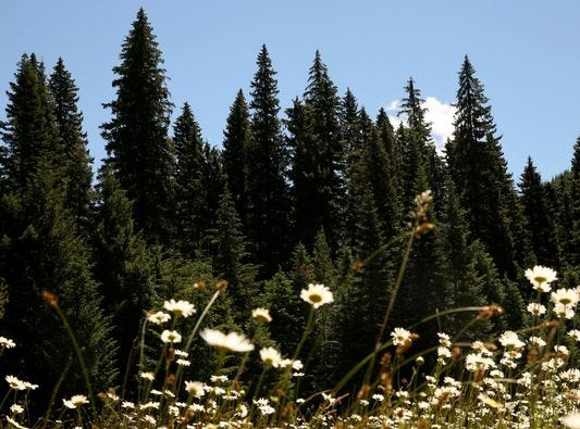 Oregon will provide the 2018 Capitol Christmas Tree from Willamette National Forest