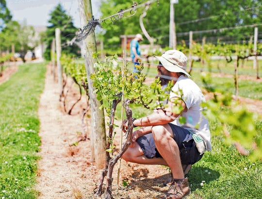 Tending the vines is an important part of producing quality wine.