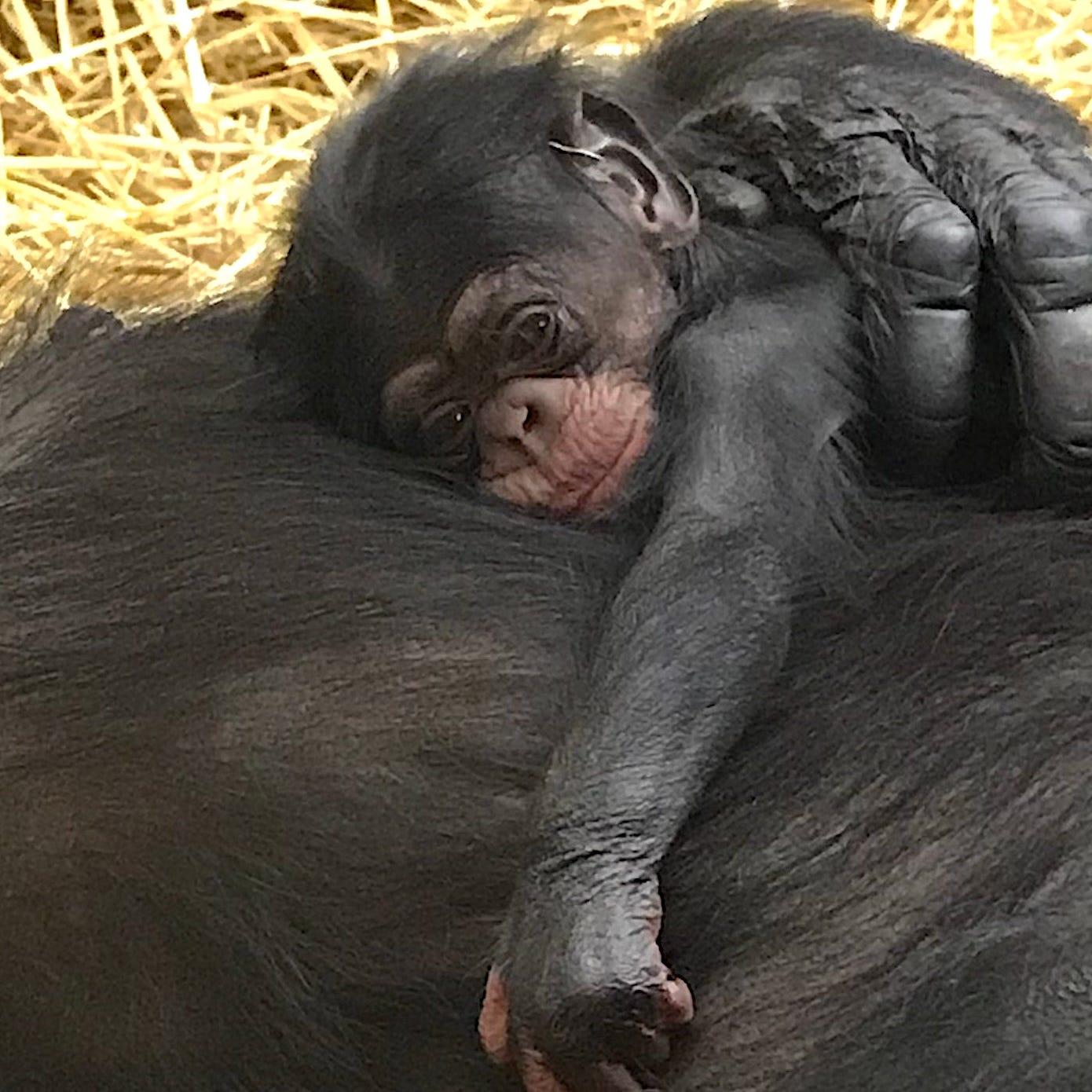 Baby chimpanzee born at Detroit Zoo on World Chimpanzee Day