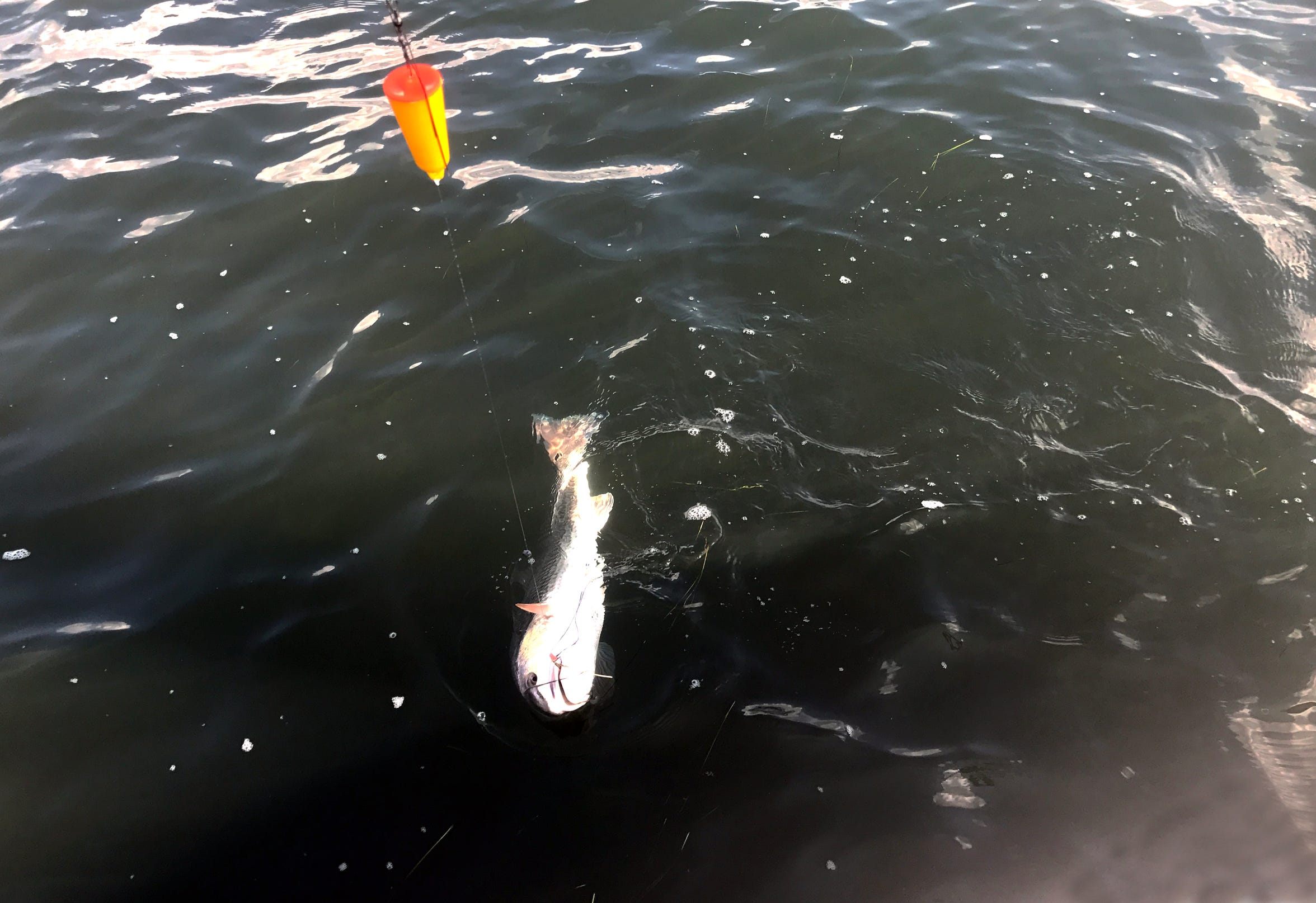 With live shrimp and a float, we caught mostly redfish around Baffin Bay.
