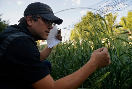 Ryan Pfeifle checks his test plot of Unitan barley, which is a strain of barely developed by Montana State University in 1957. He would like to malt the Unitan barley at his he craft malting operation, Farm Power Malt, which he runs at his family's 103-year-old dryland farm in Power.