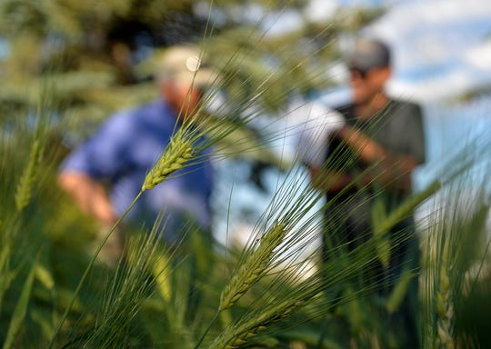 Ryan Pfeifle grows barley in a test plot at his family's 103-year-old dryland farm in Power. Ryan is launching a craft malting operation called Farm Power Malt.