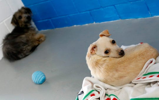 Two of the 44 dogs that have been rescued from a home in Vinton County lay in a kennel Thursday, July 19, 2018, at the Fairfield Area Humane Society in Lancaster. The home owner had more than 140 dogs on her property.