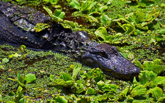 An American alligator lurks in a lettuce lake at the Corkscrew Swamp Sanctuary.When the water is colder they are forced on the banks to warm in the sun. (Photographed April 29, 2018)