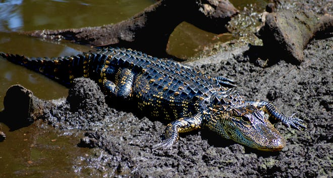 An American alligator crawls out of water at the Corkscrew Swamp Sanctuary. When the water is cold they are forced to head to the muddy banks to warm up in the sun. (Photographed April 29, 2018)