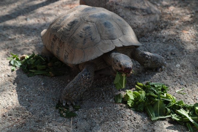 Spartacus, a desert tortoise at The Living Desert, eats some greens, July 19, 2018.