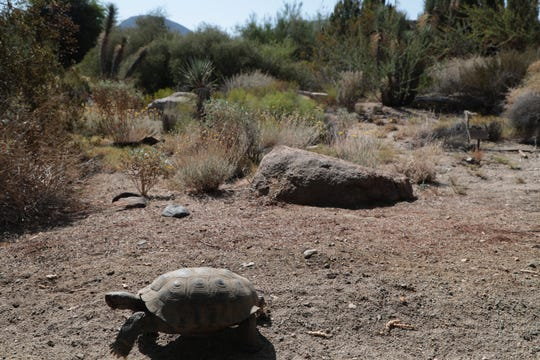 Spartacus is one of the desert tortoises being featured in educational programs at The Living Desert, July 19, 2018.
