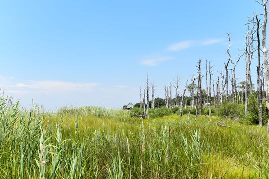 """Trees rise in a """"ghost-forest"""" on Deal Island, unable to survive as the salt water encroaches on their home."""