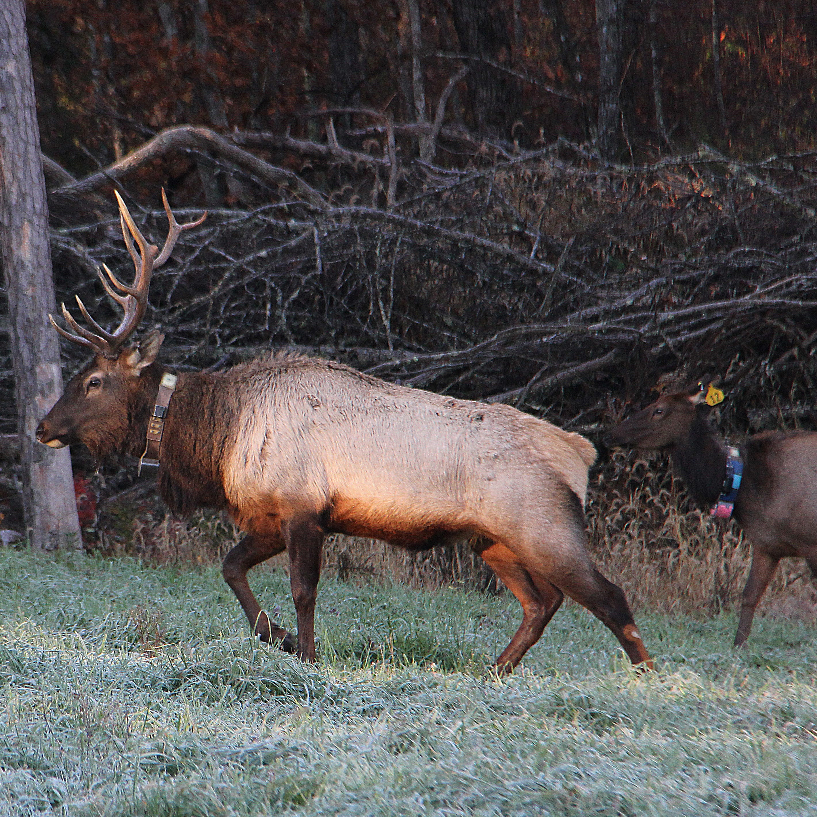 Who is killing Shannon County elk? Investigators sift evidence, seek public's help