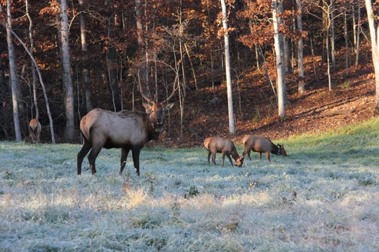 Elk were re-established in Missouri at Peck Ranch Conservation Area in 2011, drawing from herds in Kentucky.