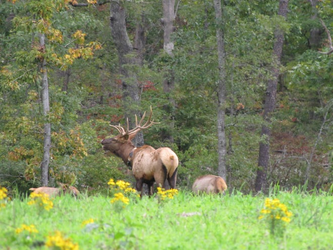 A bull elk bugles at the Peck Ranch Conservation Area in southeast Missouri.  An elk hunting season is likely in the fall of 2020.