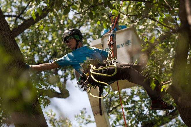 Jake Verner, with Berkelhammer Tree Experts Inc. in Boulder, swings from one branch to another during the Work Climb competition during the annual Tree Climbing Championship for the International Society of Arboriculture's Rocky Mountain Chapter on Friday, July 20, 2018, at City Park in Fort Collins, Colo.